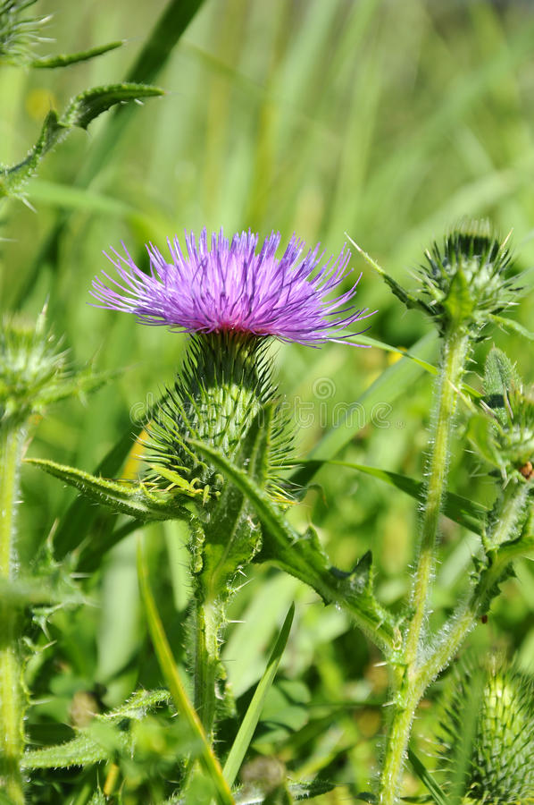 Download Thistle - Cirsium-vulgare stock photo. Image of leaf - 11569700