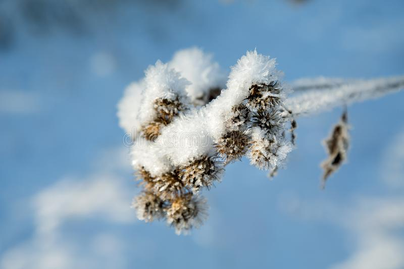 Thistle covered with snow on a sunny winter day. Close up stock photo