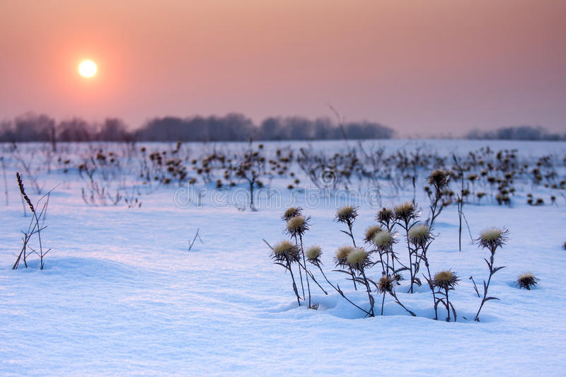 Thistle covered with snow and sunrise. royalty free stock photo