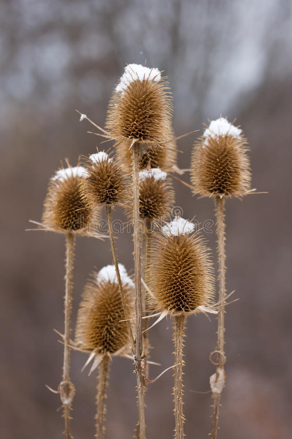 Free Thistle Covered With Snow Royalty Free Stock Photography - 25619607