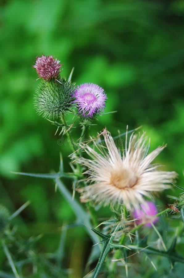 Thistle de lança com flor e os espinhos de florescência fotos de stock royalty free