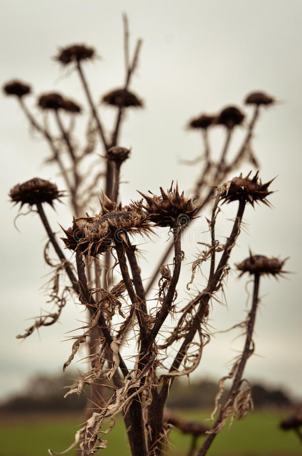 Thistle. Death thistle flowers with thorns. Background of the scene: silver sky royalty free stock photo