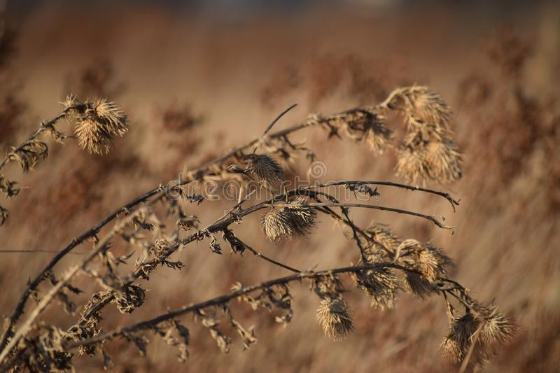 Thistle in the Evening light. Thistle field in the Evening light stock images