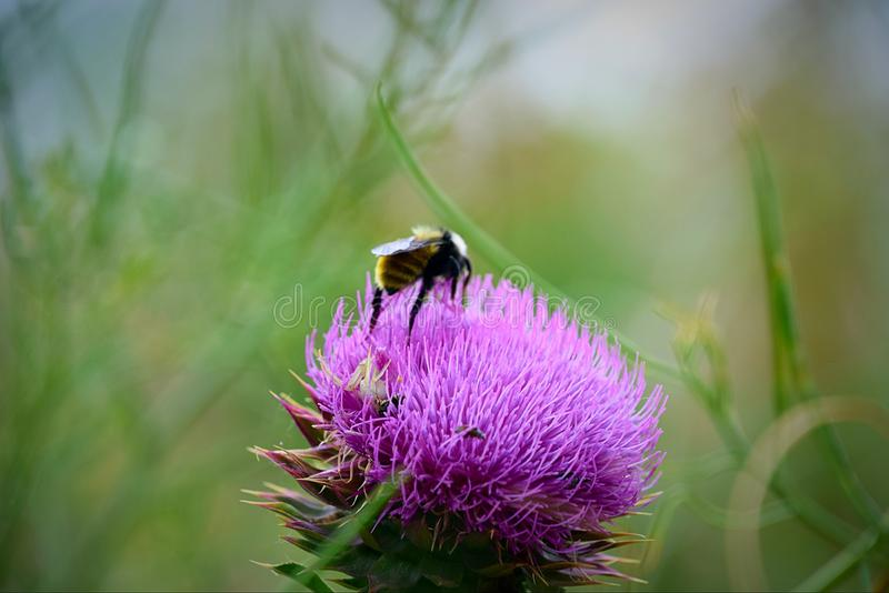 Thistle feeding bee stock images