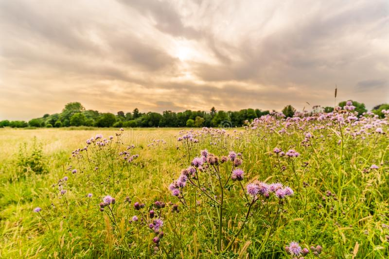 Thistle in a field near Ham, West London royalty free stock photography