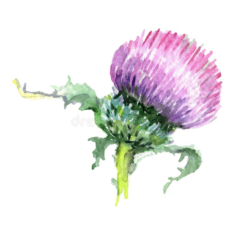 Thistle floral botanical flower. Watercolor background illustration set. Isolated thistle illustration element. Thistle floral botanical flower. Wild spring stock image
