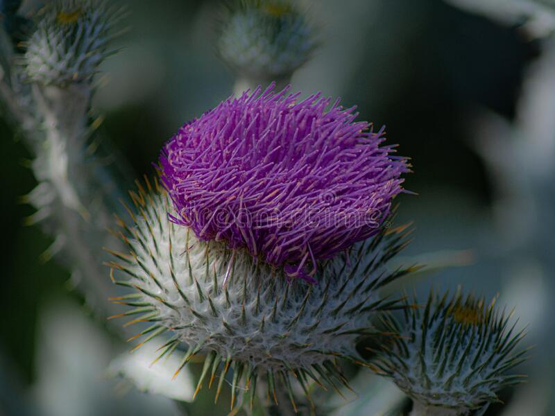 A thistle - the floral emblem of Scotland. A thistle is the floral emblem of Scotland and Lorraine, as well as the emblem of the Encyclopaedia Britannica royalty free stock photos