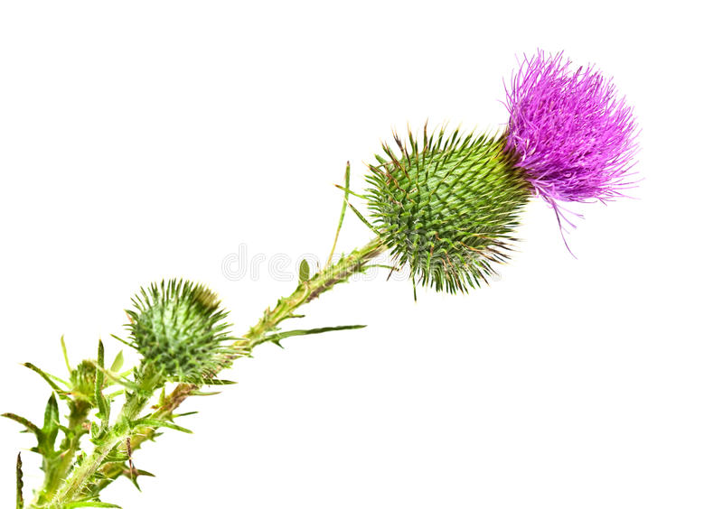 Thistle Flower. Isolated on white royalty free stock photography