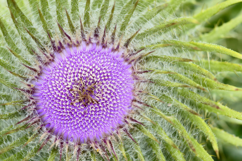 Thistle flower. The heart of thistle flower stock photography