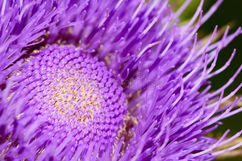Thistle flower. The heart of thistle flower royalty free stock photos