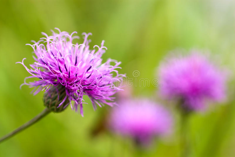 Thistle flower. In the green field stock images