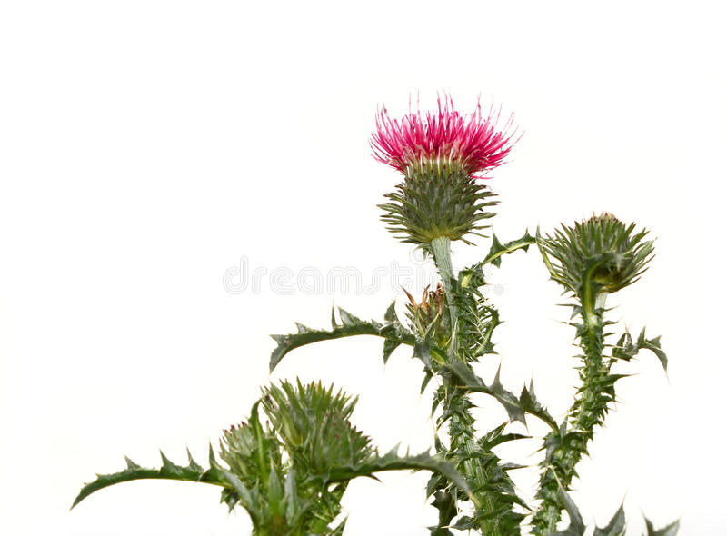 Thistle flower. On the plant isolated on white background royalty free stock photos