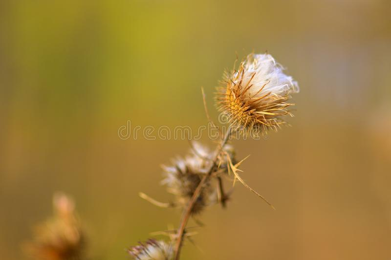 Thistle flower. Autumn in blur background royalty free stock photos