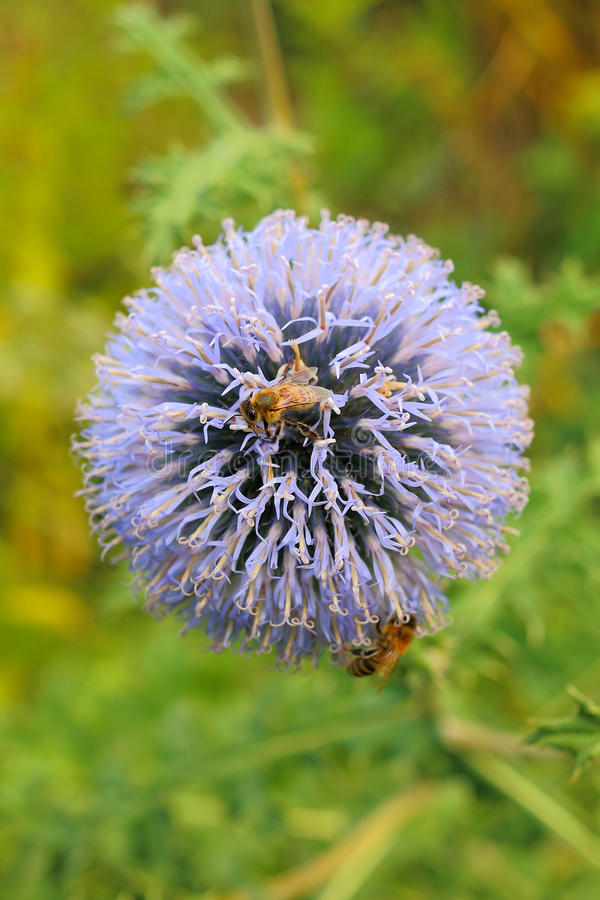 Thistle Flower and Bees royalty free stock photography