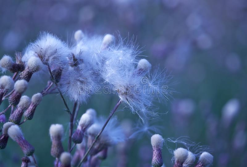 Thistle flower in bloom in summer. Plant background stock photos