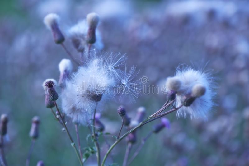 Thistle flower in bloom in summer. Plant background stock photo