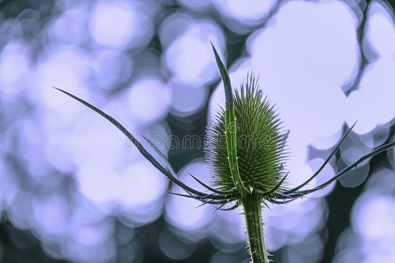 Thistle flower growing on meadow with backlight bokeh in backgro stock photography