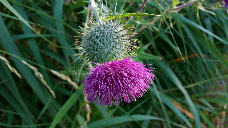 Thistle flower grows in the countryside royalty free stock photo