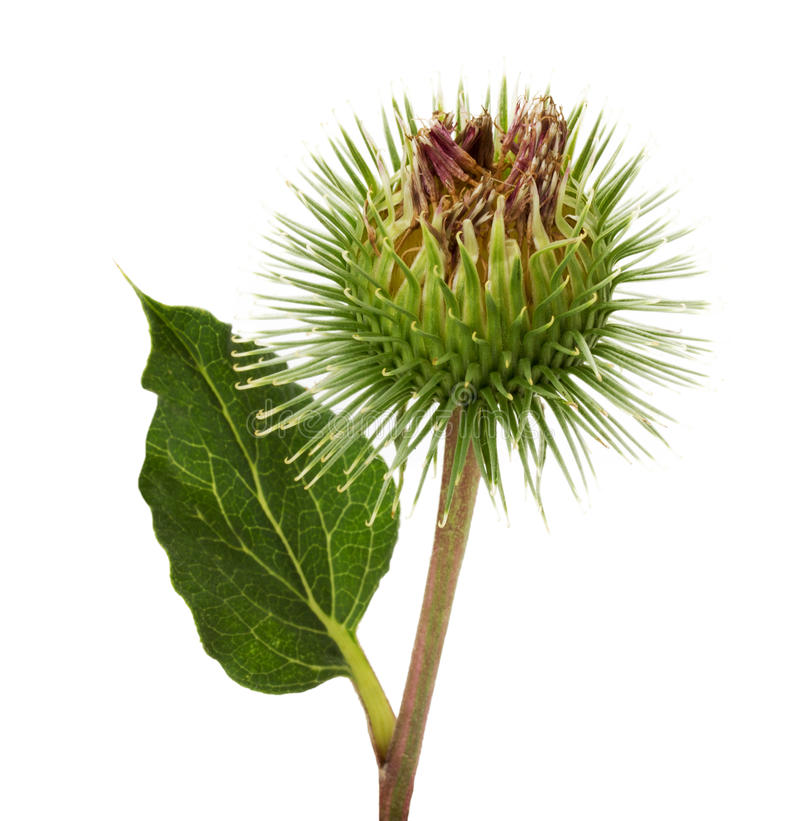 Thistle flower isolated on the white background royalty free stock photos