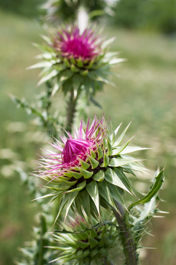Thistle flower. Meadow outdoors macro closeup royalty free stock photography