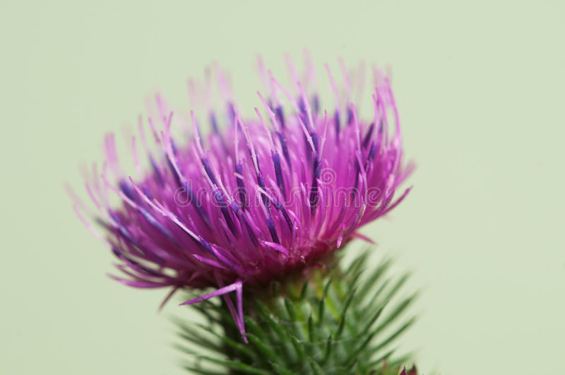 Thistle flower. Over green background, closeup shot royalty free stock photography