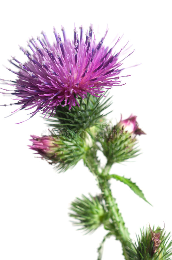 Thistle flower. Over white background, closeup shot royalty free stock photo