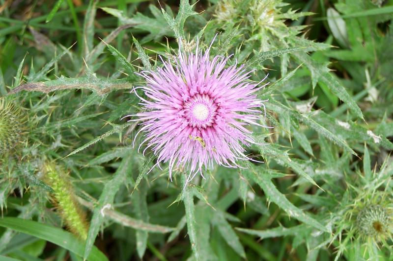 Thistle flower. Purple thistle flower blooms in the Virginia mountains stock photo