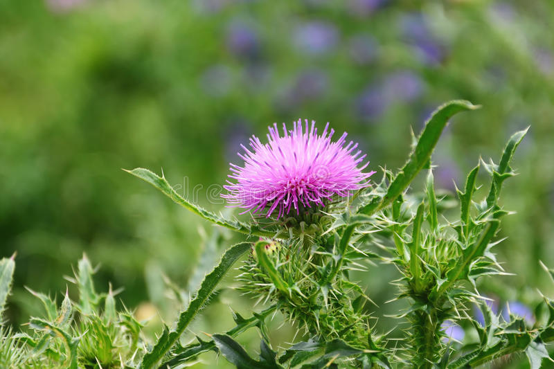 Thistle flower (Silybum marianum) stock photography