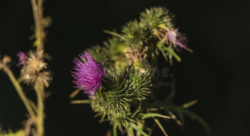 Thistle flower with sun in summer time royalty free stock image