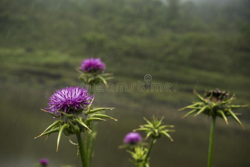 Thistle flower under the rain. Drops are seen falling and a natural green background stock images