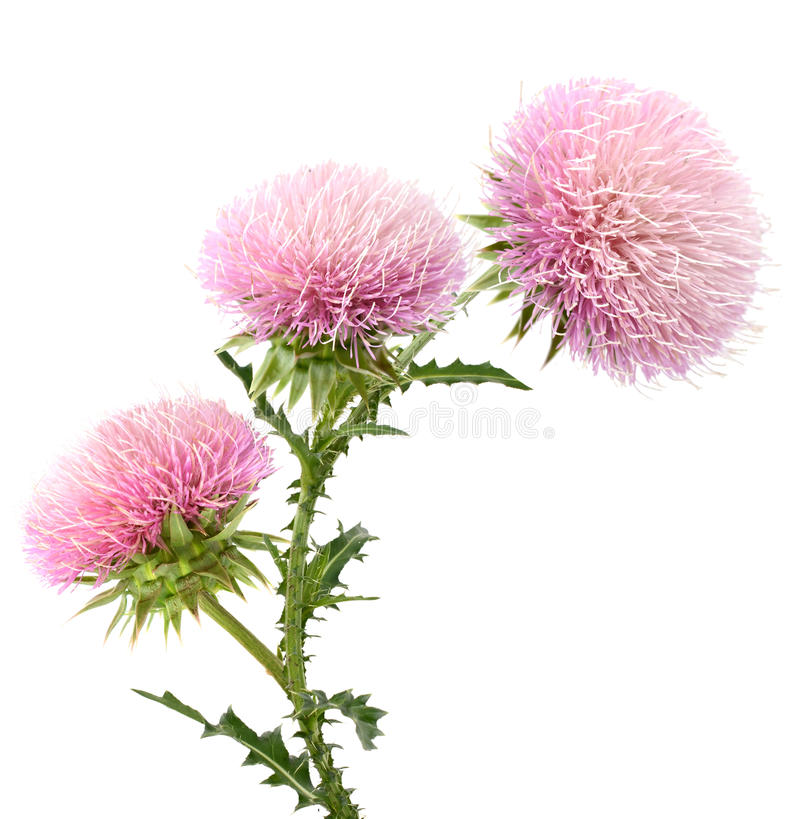 Thistle. A flowering thistle isolated white stock images