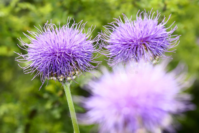 Thistle flowers. The thistle flowers are blooming stock photo