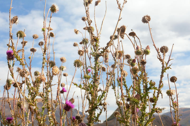 Download Thistle flowers stock photo. Image of grass, countryside - 29004718