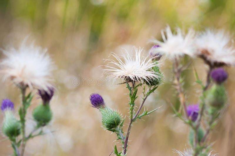 Thistle flowers group. Group of a Pink Thistle flower on a blurred background royalty free stock photography