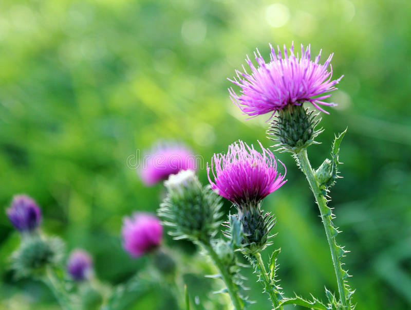 Thistle flowers outside. Picture of thistle flowers in a field, backlit from the sun on a September evening. Greenery and other thistle plants are blurred in the stock photo