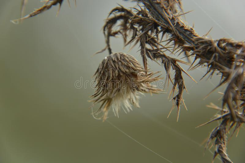 Thistle in the grassland. stock photography