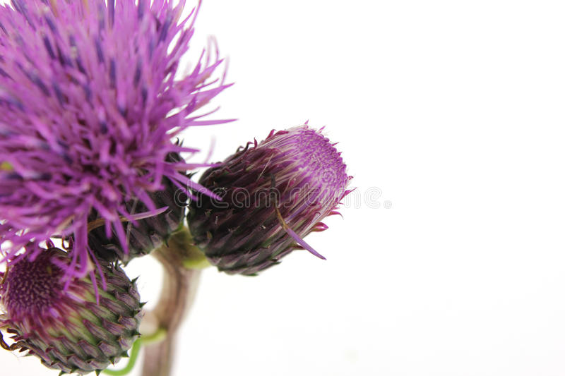 Thistle isolated on white. Thistle flower isolated on the white background stock photo