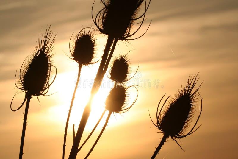 Thistle på solnedgångbakgrund royaltyfria bilder