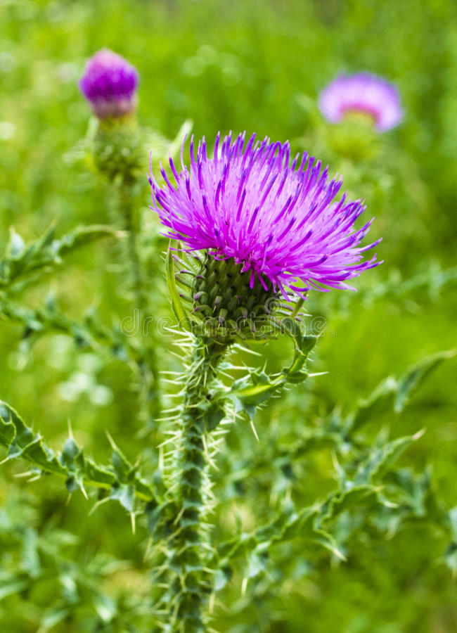 Thistle. Pink milk thistle flower in bloom in spring stock images