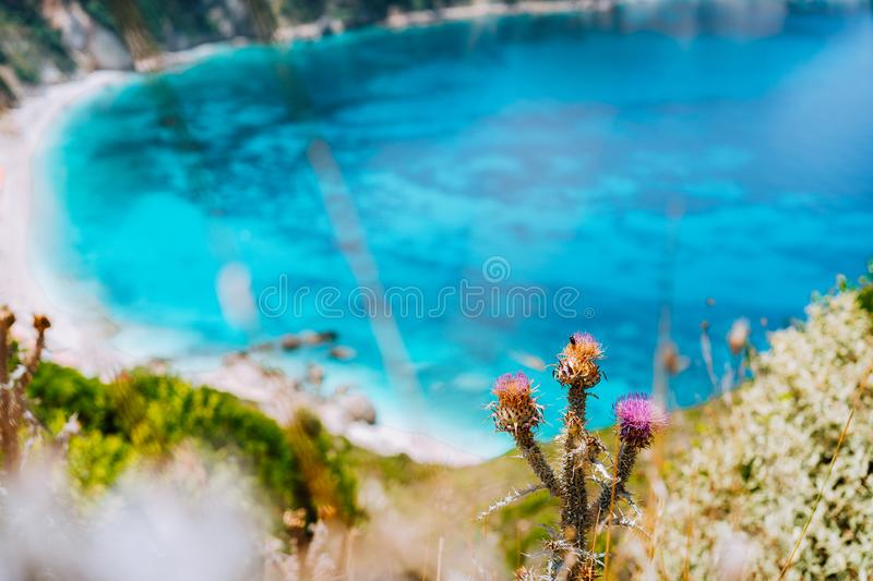 Thistle plant flower on blurred background with azure blue sea water petani beach. Summer on Kefalonia island, Greece. Europe royalty free stock image