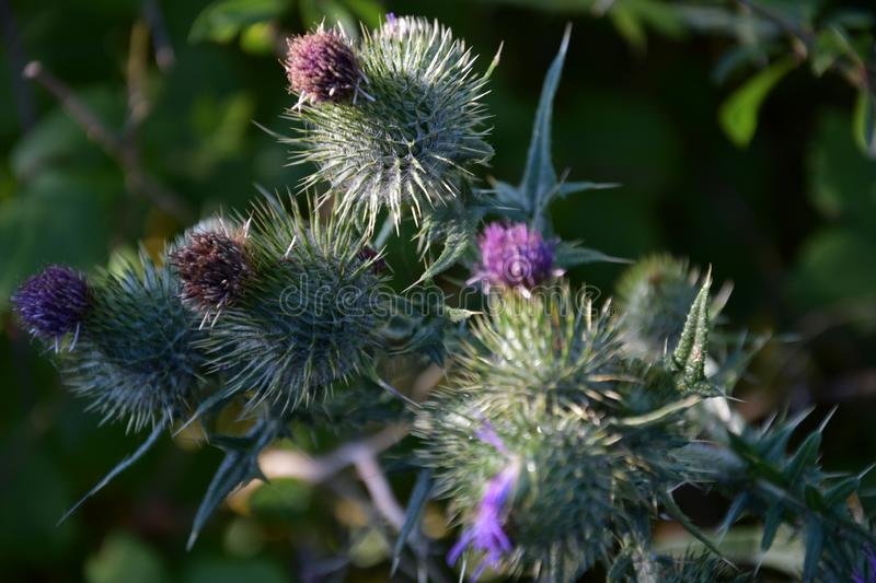 Thistle plant green purple focus micro shoot royalty free stock photography