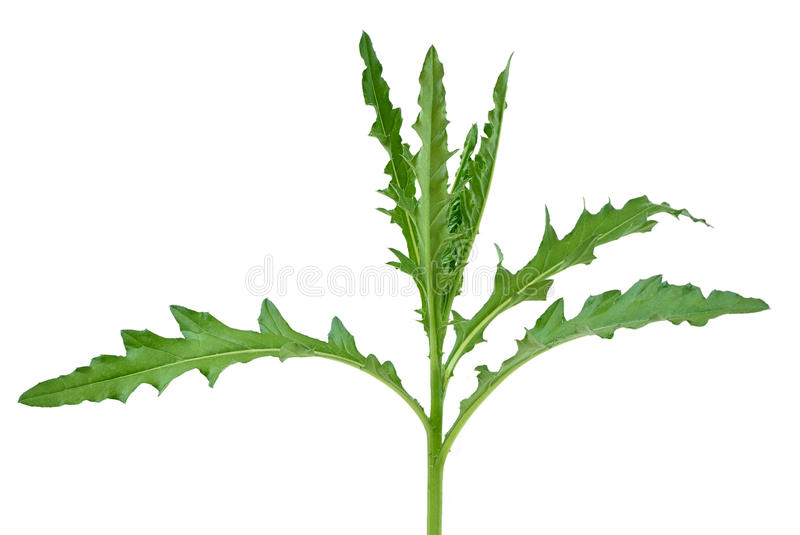 Thistle plant. Isolated on a white background stock photos