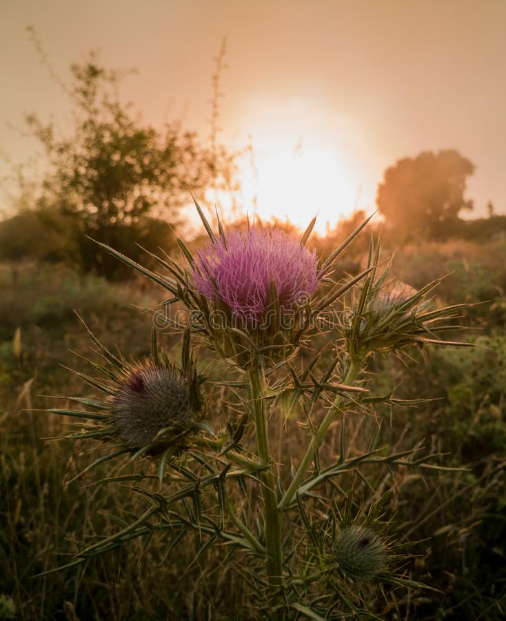 Thistle plant at low-clouds covered mountain sunset. In the higher altitudes of the Pla de la Calma plateau of the Montseny mountain range in northeastern stock photo
