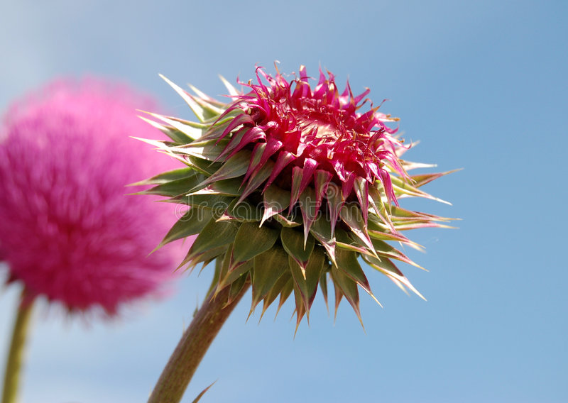 Download Thistle Pod Stock Photos - Image: 2652813