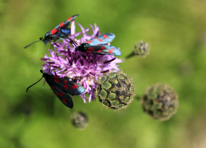 Download A Thistle Pollination Stock Photo - Image: 42797219
