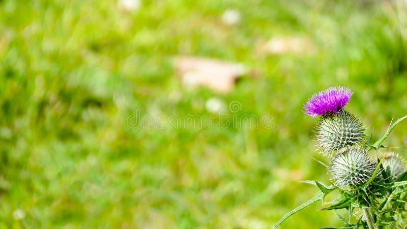 Thistle - Scottish symbol background stock photography