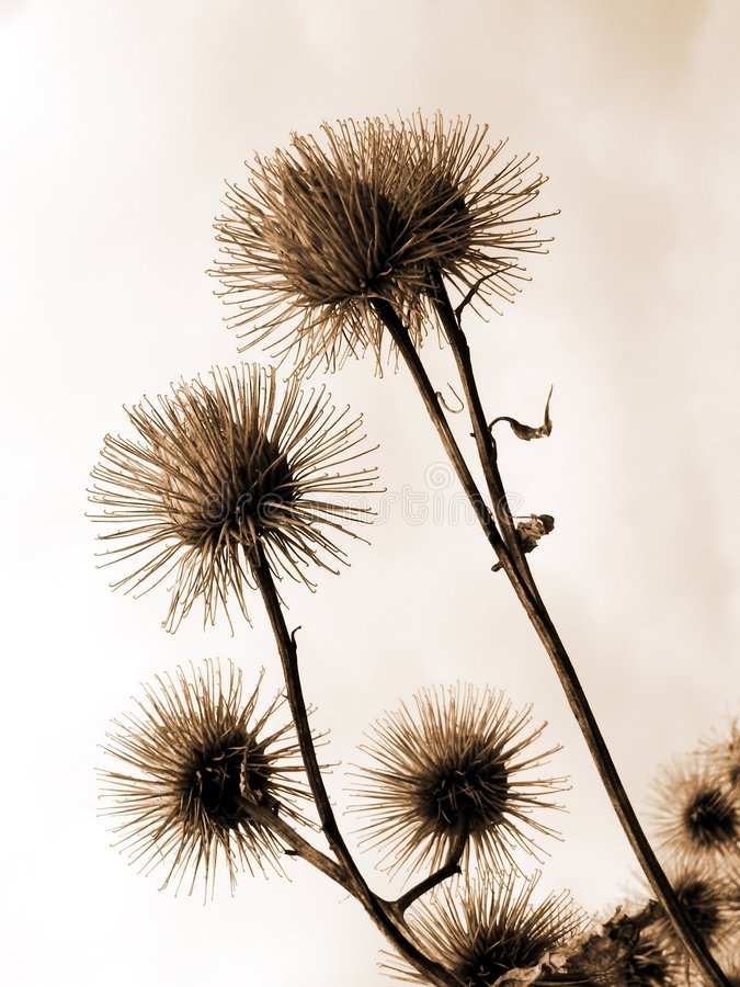 Thistle on sky background stock photography