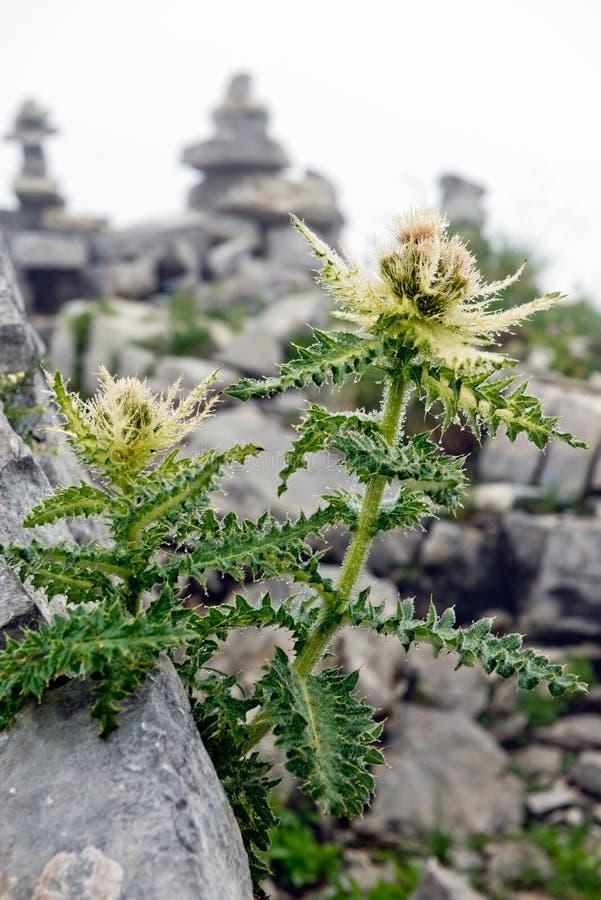Thistle Spiniest в немецких Альпах стоковое фото rf
