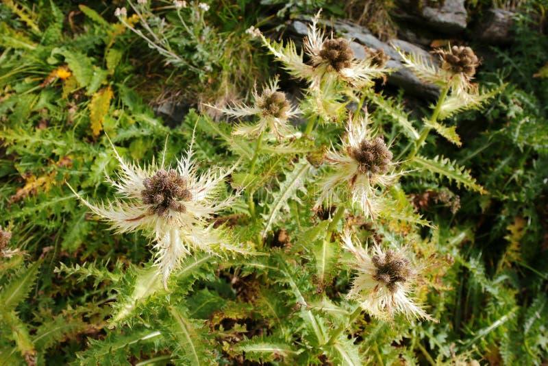 Thistle Spiniest (spinosissimum Cirsium) стоковая фотография