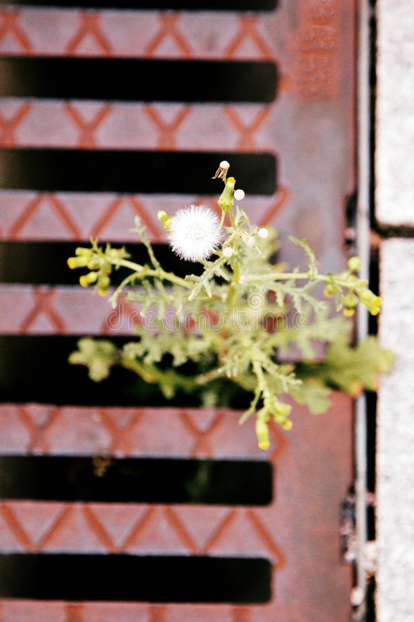 Thistle sprouted through the grate of the spillway. Thistle sprouted through grate of spillway on side of highway. Power of life in lifeless city concept royalty free stock photography